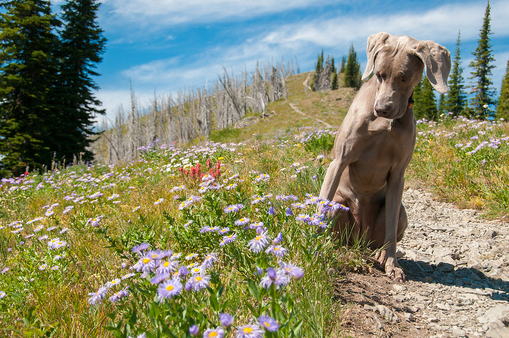 A dog admiring the wildflowers while hiking in Jewel Basin