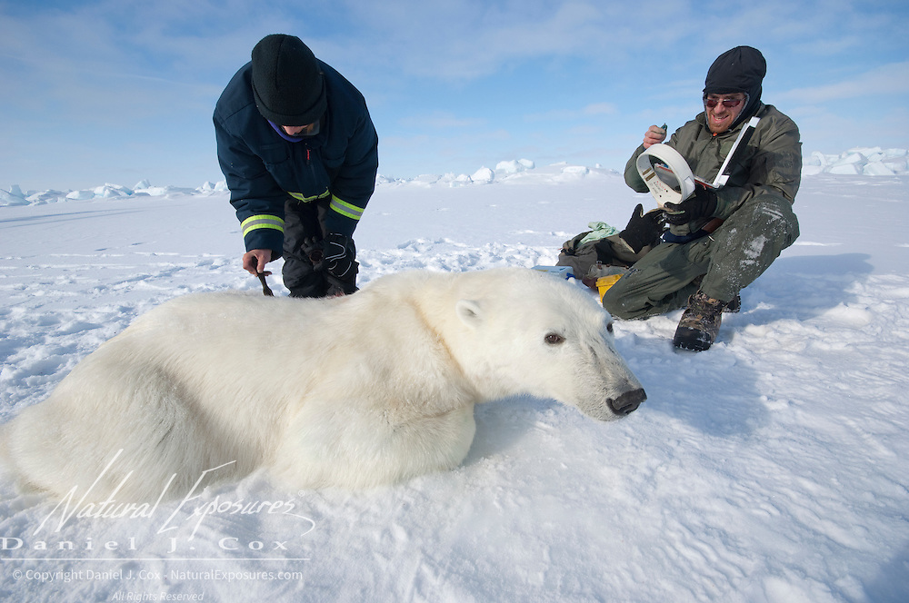 Geoff York a USGS biologist, prepares a radio collar while Katrina Knott, research assistant, painting an ID number on the back of a polar bear. The ID number is to make it easy to see from the air that the bear was captured already. Kaktovik, Alaska