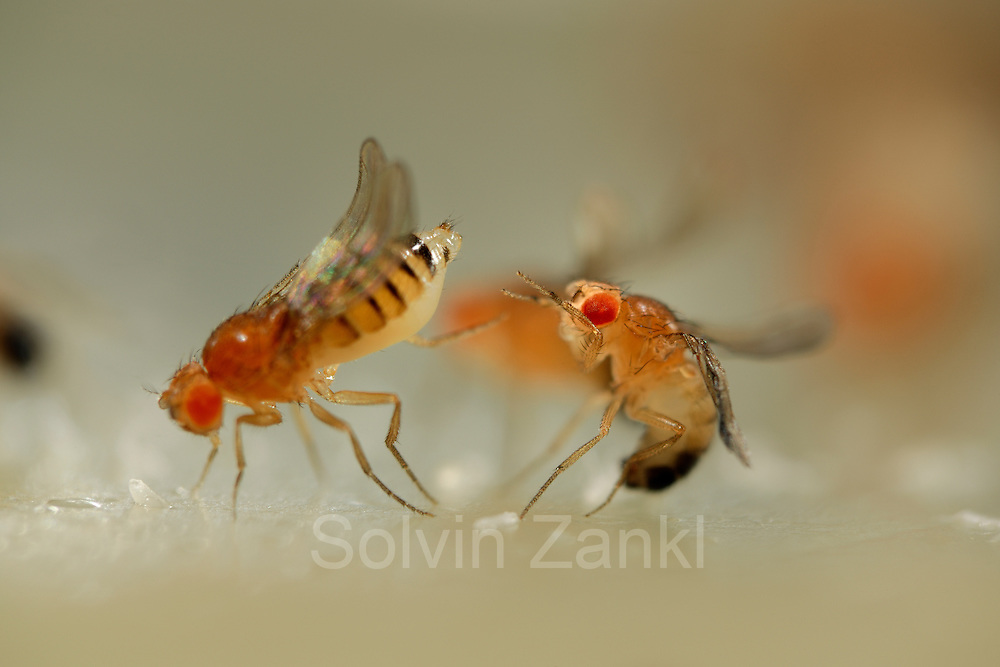 """Mating behavior Fruit Fly (Drosophila melanogaster) female rejecting male (Curly + orange mutant)    Wissenschaftler haben das Paarungsverhalten der Taufliege (Drosophila melanogaster) seit vielen Jahren bis ins Detail studiert. Ein bereits verpaartes Weibchen, links (hier die genmanipulierte Form """"Curly + orange"""" mit gebogenen Flügeln und orangenen Augen) wehrt mit einem kräftigen Schlag des Hinterleibs ein paarungswilliges Männchen (Mutation """"Curly"""") heftig ab."""