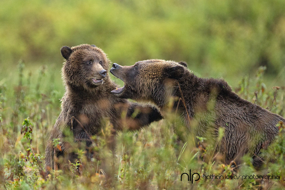 Brown Bear sow and cub playing in field;  Khutze Bay, British Columbia in wild.