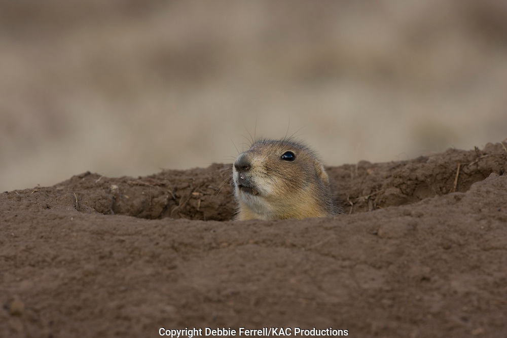 Adult Black-tailed  Prairie dog portrait peering out of mound