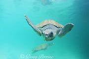 Kemp's ridley sea turtles, Lepidochelys kempii, Critically Endangered Species, Mexico