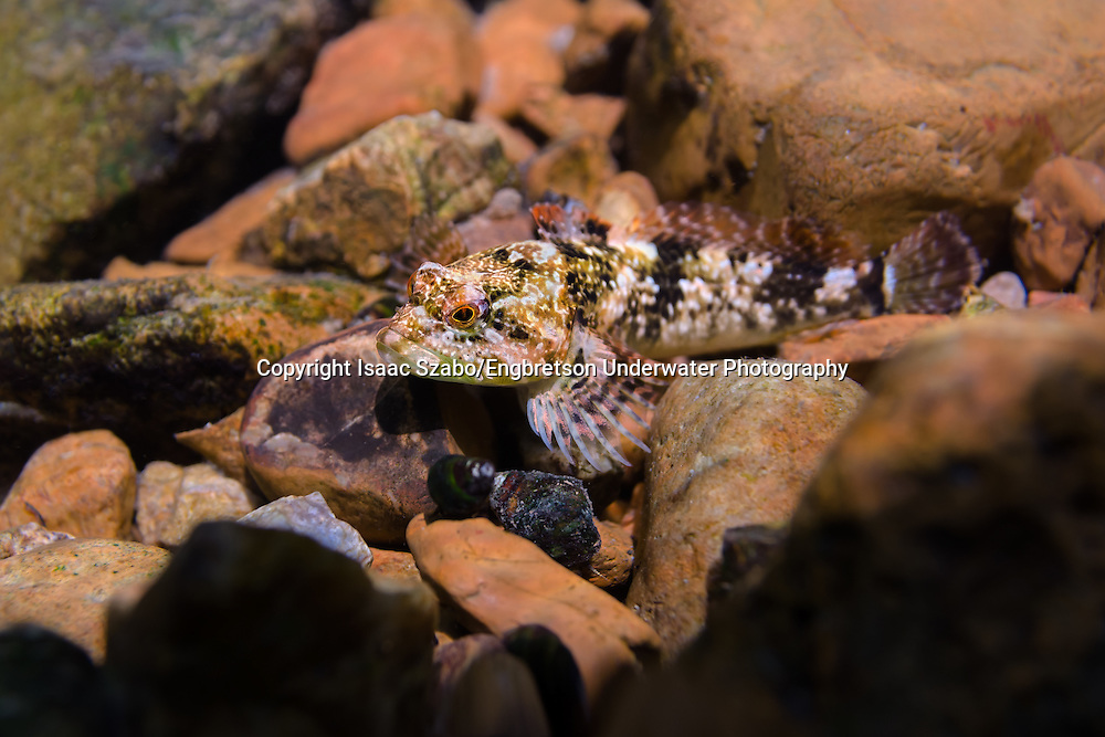 Knobfin Sculpin<br /> <br /> Isaac Szabo/Engbretson Underwater Photo
