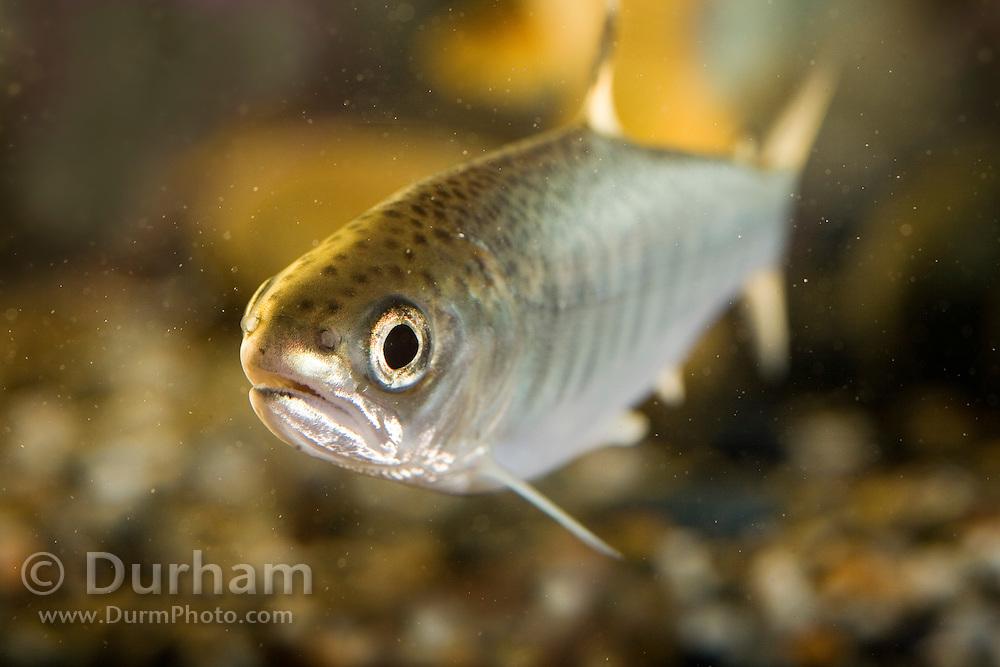 A coho salmon fry (Oncorhynchus kisutch), an endangered species. Captive.