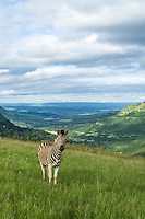 Burchelles Zebra stallion on the crown grasslands of Umgeni Valley Nature Reserve, KwaZulu Natal, South Africa,
