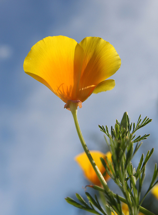 California Poppy, Sefton, New Zealand, Friday, November 28, 2008. Credit:SNPA/Pam Johnson