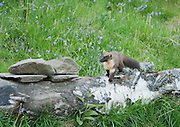 Pine Marten standing on a log as it checks for danger before eating. A proportion of the proceeds will be donated to the Aigas Trust, a charity providing environmental education to children.