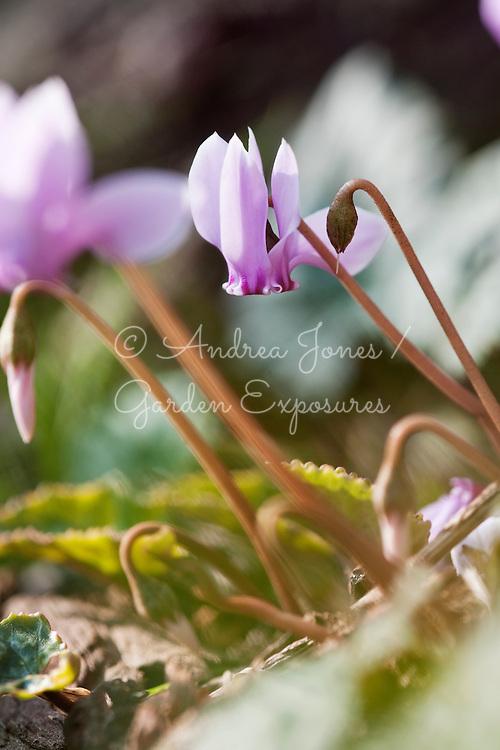 Cyclamen hederifolium (ivy-leaved cyclamen)