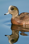 An american wigeon poses for a head and shoulder portrait in early morning light