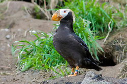 tufted puffin, crested puffin, Fratercula cirrhata (c)