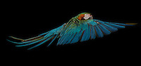 Catalina Macaw, captive, credit: Pandemonium Aviaries/M.D.Kern