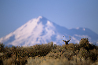 Mt. Shasta and a Mule deer (Odocoileus hemionus).  Tule Lake National Wildlife Refuge, California.  Oct 2002.
