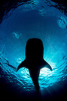 A silhouette of a whale shark (Rhincodon Typus) moving effortlessly over me a sit feeds in the waters off Isla Mujeres, Mexico. As all the diving is on breath hold, these types of images are difficult to obtain!