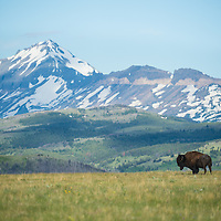 bison bull on prairie with glacier national park back ground summit mountain