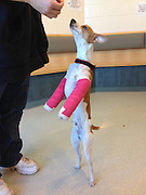 """Puppy on the Mend after Front Legs are Crushed by Falling Brick <br /> <br /> """"Bruno"""" Recovering from Major Surgery while MSPCA-Angell Evaluates Adoptive Homes <br /> <br />  One-year-old puppy """"Bruno"""" is on the mend after major surgery to repair his front legs which—according to his previous owner—were fractured when a brick fell on him,<br /> <br /> Bruno was brought to Angell Animal Medical Center  and surrendered by his owners because of the burden associated with rehabilitating the critically injured dog.<br /> <br /> Dr. Zach Crouse of Angell's Emergency & Critical Care Unit was first to evaluate Bruno and was shocked by what he saw.  """"This dog's legs were very obviously and very badly fractured,"""" he said.  """"Not only could he not bear weight, but his two front limbs were completely limp.  And he was in severe pain.""""<br /> <br /> Pain medicine was administered to help calm the frightened puppy.  Dr. Crouse ordered x-rays which confirmed the fractures—both severe enough that surgery would be required.  Angell surgeons Andrew Goodman and Matthew Cleveland inserted plates and screws to bind Bruno's leg bones and he was fitted with casts on both legs.<br /> <br /> The Search for the Perfect Home <br /> Bruno is recovering from surgery but will not be ready for adoption for at least six more weeks.  He is currently in foster care in the home of Andrea Bessler, veterinary technician at the MSPCA's Shalit-Glazer clinic in Boston, which is adjacent to the adoption center and meets the medical care needs of the thousands of homeless animals treated and placed into new homes by the MSPCA every year.<br /> <br /> According to Bessler, Bruno is not letting his injury hold him back.  """"Of the many dogs and other animals I've fostered while they recover from injury or illness, Bruno is one of the most playful, charming and all-around most socialized,"""" she said.  """"He gets along perfectly with my other pets and my children and I'm sure that after he's completely healed he's goi"""
