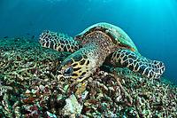Feeding hawksbill turtle, Sipadan, Sabah, Malaysia.