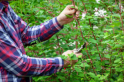 Cutting back a spring flowering shrub after it has finished flowering  - ribes, flowering currant.