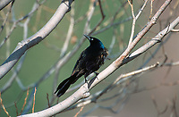 Common Grackle (Quiscalus quiscula), Fishcreek Provincial Park, Calgary, Alberta, Canada