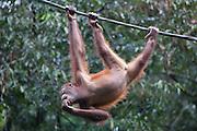 Male Bornean Orangutan hanging from cable, Pongo pygmaeus morio, Orang Utan Sanctuary Sepilok, Sabah, Borneo