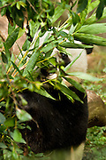 Giant Panda, eating bamboo, captive