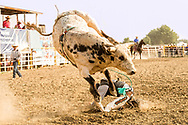 Crow Fair, Indian rodeo, Bull Rider, bucked off, Crow Indian Reservation, Montana