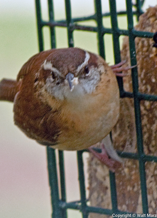 Carolina Wren @ a Suet Feeder. These birds love to move low through tangled understory; they frequent backyard brush piles and areas choked with vines and bushes. It explores yards, garages, and woodpiles, sometimes nesting there. This wren often cocks its tail upward while foraging and holds it down when singing.  Carolina Wrens defend their territories with constant singing; they aggressively scold and chase off intruders.