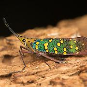 Saiva gemmata lantern bug in Kaeng Krachan National Park, Thailand.