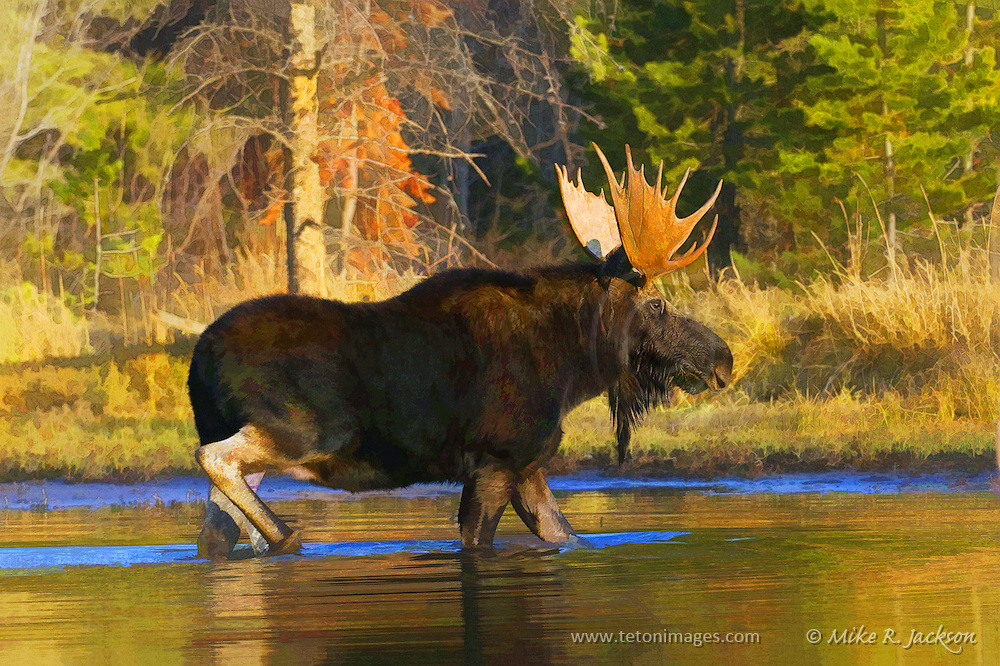 Artistic watercolor effects applied to a large bull moose crossing a small pond in Grand Teton National Park at dusk.