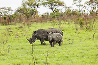 Rhinoceroses in savanna