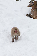 Snow monkey running down snow bank 2