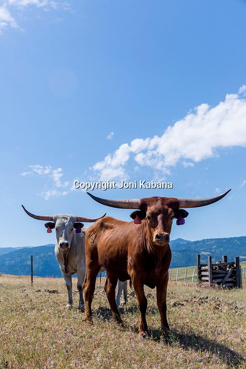 Longhorns at Rocking M Ranch in Lostine, Wallowa, Oregon