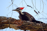 Female pileated woodpecker in a melaleuca tree in Fort Myers. This huge woodpecker is often seen in forests and woodlands all over Florida.