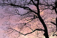 A tree in winter silhouetted against the evening sky