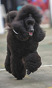 Dog show champion Israel, Brown Medium Poodle presenting itself at a dog show. Property Release Available