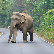 A male Asian or Asiatic elephant (Elephas maximus) crossing the road that cuts through the Khao Yai National Park in Thailand.