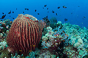 Giant Barrel Sponge (Xestospongia)<br /> Raja Ampat<br /> West Papua<br /> Indonesia