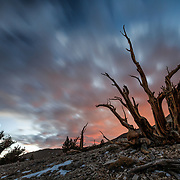 Bristlecone Pines at Sunset near Bishop, California.