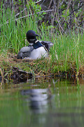 Loon chick out from under adult's wing.