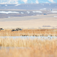 northern pintail ducks courtship flight over a prairie pothole in montana