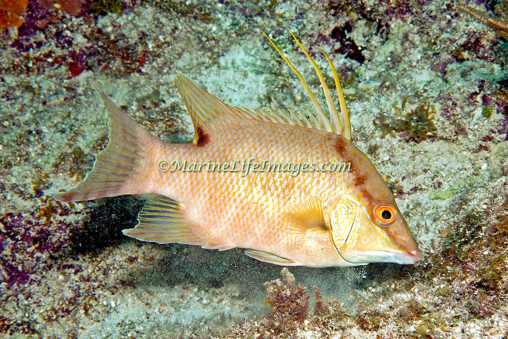 Hogfish most commonly over open bottoms of sand and rubble, occasionally over reefs in Tropical West Atlantic; picture taken Key Largo, FL.