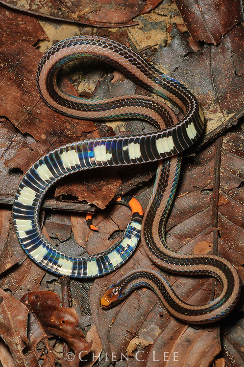 Although the Banded Coral Snake (Calliophis intestinalis) is not agressive, it possesses an extremely toxic venom like other Elapids. When disturbed it displays its red tail and the brightly colored bands on its undersurface which serve as a warning signal to would-be predators. Sarawak, Malaysia.