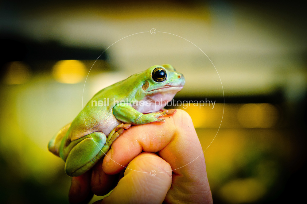 Bishop Burton College, East Yorkshire.  Animal Management centre. pictured a tree frog.
