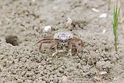 Sand Fiddler Crab; Uca pugilator; NJ, Stone Harbor, Cape May County