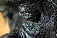 Gorilla, Western Lowland gorilla (Gorilla gorilla gorilla).Portrait, Close-up of a gorilla-woman with lowered eyes. ..Gorilla, Westlicher Flachlandgorilla (Gorilla gorilla gorilla).Portrait, Close-up einer Gorilla-Frau mit gesenktem Blick. .