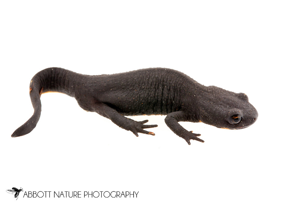 Chinese fire belly newt (Cynops orientalis)<br /> Captive individual<br /> 18-June-2015<br /> J.C. Abbott &amp; K.K. Abbott