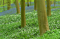 Wild garlic Allium ursinum and bluebells Hyacinthoides non-scripta carpet in Hallerbos forest, Belgium