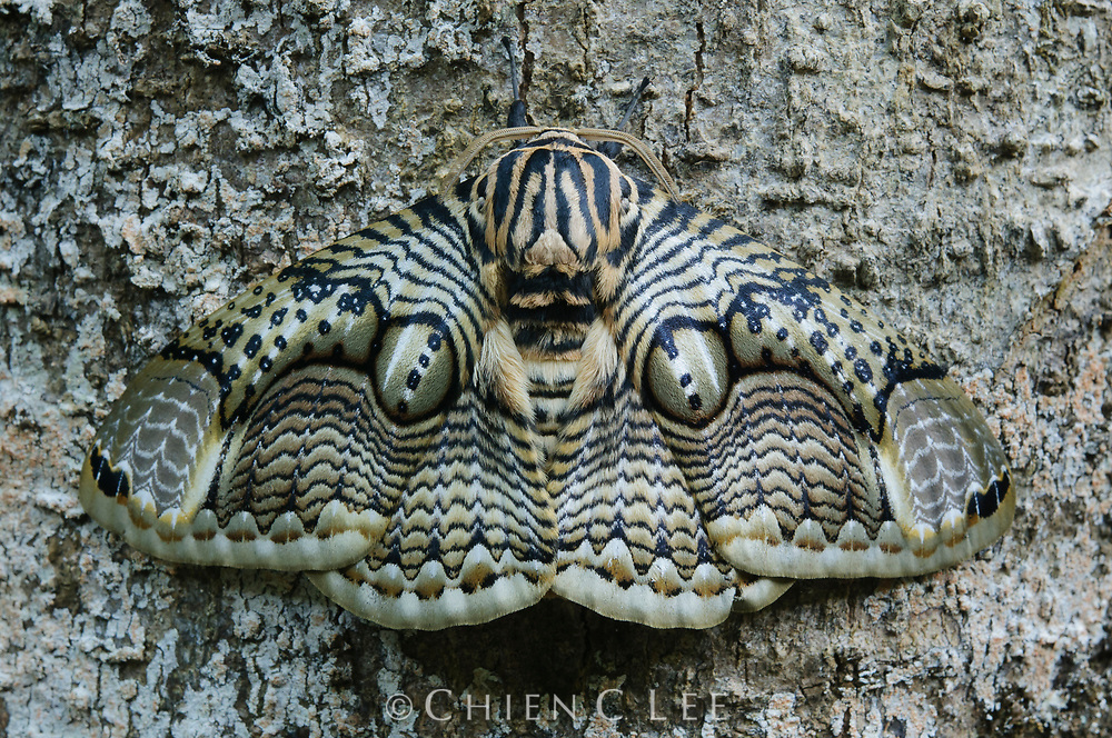 The large and spectacular Owl Moth (Brahmaea hearseyi) is widespread across Southeast Asia but nowhere common.