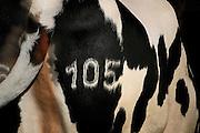 Holstein-Rind<br /> -  Milchkuh mit eingebrannter Nummer. Hof: <br /> Familie Specker-Dünhöft<br /> Im Brook 6<br /> 26899 Rhede