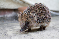 Hedgehog in domestic garden, Wirral, October