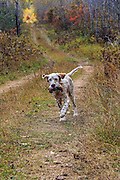 Young English Setter retrieving woodcock in Northern Wisconsin
